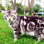 WONDERCOON CATTERY ฟาร์มแมวสายพันธุ์เมนคูน เกรด คุณภาพ